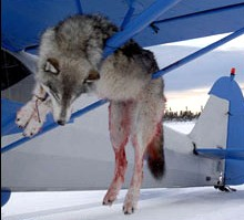 Killed wolf